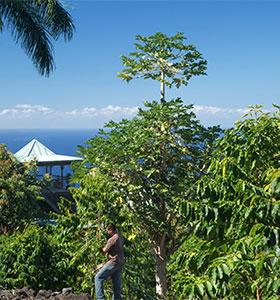 Big Island coffee farm