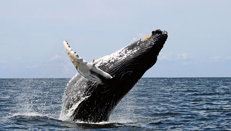 Whale Breaching on One of Many Winter Getaways