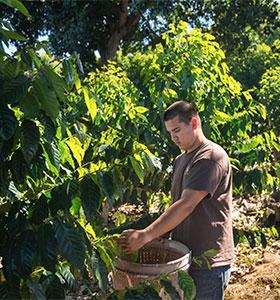A young man picking coffee beans
