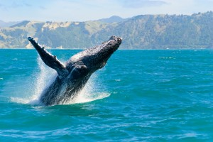 whale in the ocean - big island events