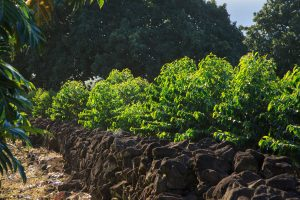 Coffee bean plants in Holualoa, Hawaii