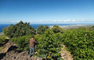Kona Coffee in Holualoa