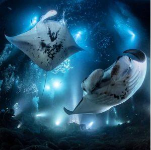Manta Rays on the Big Island