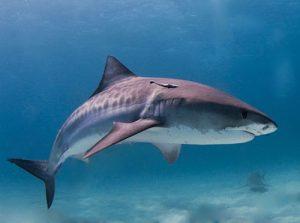 Tiger Shark seen diving on the Big Island