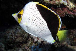 Yellow Tank Fish in Hawaii