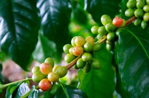 green coffee beans - big island events