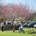 cherry blossom tree festival on the big island