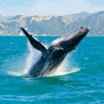 Whale Breaching on Tropical Winter Vacation
