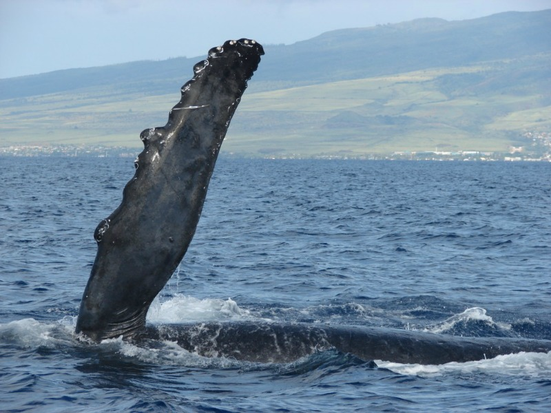 Humpback Whale Wave in Hawaii in December