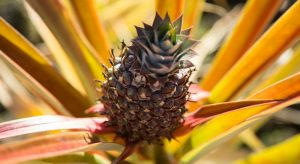 Fresh-grown pineapple at the Holualoa Inn