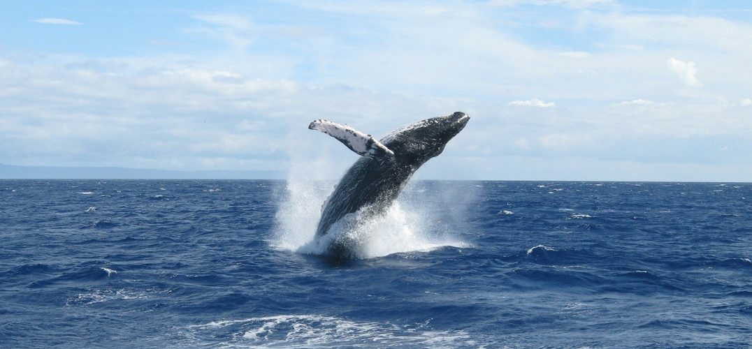 Whale breaching in a blue ocean