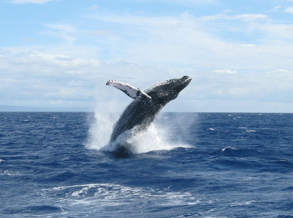 Whale breaching in a blue ocean
