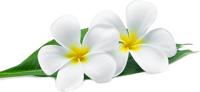 White plumeria flowers with green leaves