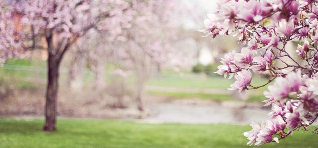 Waimea Cherry Blossoms